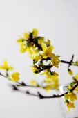 Flowering forsythia sprig
