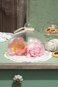 Peonies under glass cover with lace ribbon