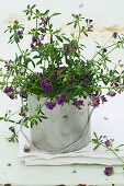 Purple-flowering alfalfa (Medicago sativa) planted in metal bucket