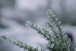Icy rosemary sprigs in winter