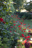 Poppies in the landscape garden