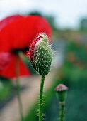Oriental poppies in garden