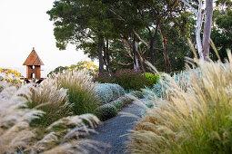 Chinese reed on garden path (Miscanthus transmorrisonensis)