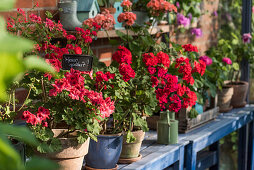 Pots with standing geraniums on workbenches in the greenhouse