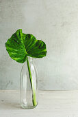 Elephant ear leaves in glass bottle