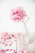 Pfingstrosenblüte in Glasflasche