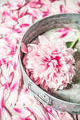 Pfingstrosenblüte auf Zinktablett