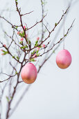 Coloured Easter eggs on a quince sprig