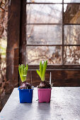Hyacinths in colourful plastic pots