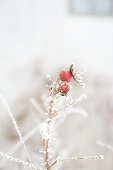 Branch of rose hips covered in hoarfrost in wintry garden