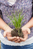 Chives and root ball held in cupped hands