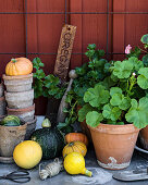 Ornamental squashes, terracotta pots and gardening tools on potting table