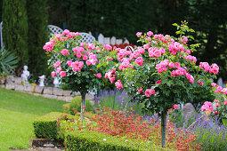 Standard roses in sloping garden