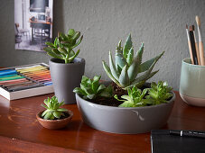 Succulents on desk