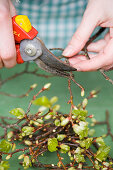 Shoots of beech branches being trimmed with secateurs