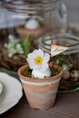 Terracotta pot with lace trim, egg, primula and name tag on a twig