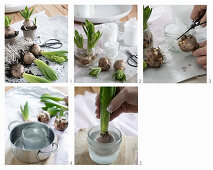 Instructions for covering hyacinth bulbs with wax