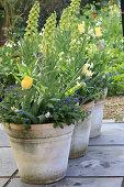 Töpfe mit Frühlings-Bepflanzung: persische Kaiserkrone 'Ivory Bells' mit Tulpen und Vergißmeinnicht