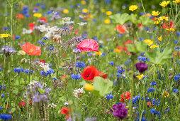 Flower meadow with poppies, cornflowers, borage, wildflowers, and Phacelia
