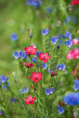 Flower meadow with scarlet flax and Viper's-buglosses
