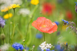 Flower meadow with poppies, borage, cornflowers and Tanacetum flowers