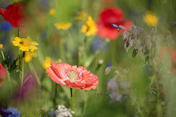 Flower meadow with poppies, borage, and wildflowers