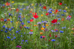 Blue tansy, cornflowers and poppies in wildflower meadow