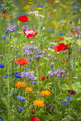 Tansy, cornflowers, poppies and pot marigolds in wildflower meadow