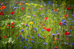 Mallow, viper's buglos, tansy, cornflowers, poppies and blue tansy in wildflower meadow