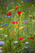 Cornflowers, poppies and blue tansy in wildflower meadow