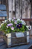 Wire basket of violas and pansies