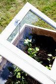 Jungpflanzen im DIY-Mini-Gewächshaus