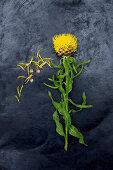 Großköpfige Flockenblume (Centaurea macrocephala) auf dunklem Untergrund