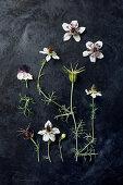 Schwarzkümmel-Blüten (Nigella damascena) auf dunklem Untergrund