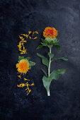 Blüten von Färberdistel (Carthamus tinctorius) auf dunklem Untergrund