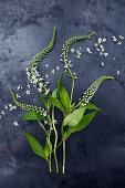 Blütenstiele vom Schneefelberich (Lysimachia clethroides) auf dunklem Untergrund