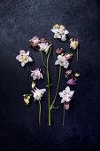 Blüten von Akelei auf dunklem Untergrund