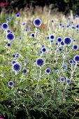 Bed of flowering globe thistles