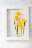 Narcissus flowers and white twig in white wooden frame