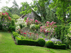 Flowering bed with rose stems and box hedge