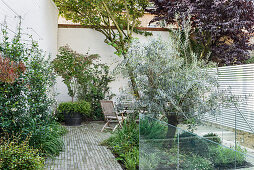 Olive tree in small courtyard garden with high walls