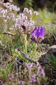 Crimean iris (Iris lutescens) in garden