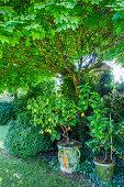 Lemon tree under maple tree in the garden