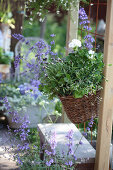 Hanging basket planted with geranium, graceful spurge, cat mint and butterfly lavender