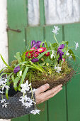 Woman holding basket of wire vine planted with star-of-Bethlehem, crocus, bellis, snowdrop and grape hyacinth