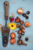 Tableau with flower bulbs and trowel for autumn planting