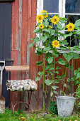 Sunflowers and chair at the garden house