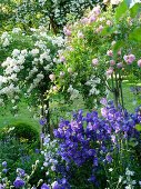 Standard roses ('Christine Helene', 'Joanne de Féligonde') and campanula ('Blue Bloomers') in rose garden