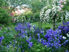 Rose garden with rose tree 'Ghislaine de Féligonde' 'Christine Helene' and bluebells 'Blue Bloomers'