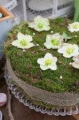 DIY moss cake with Christmas rose blossoms